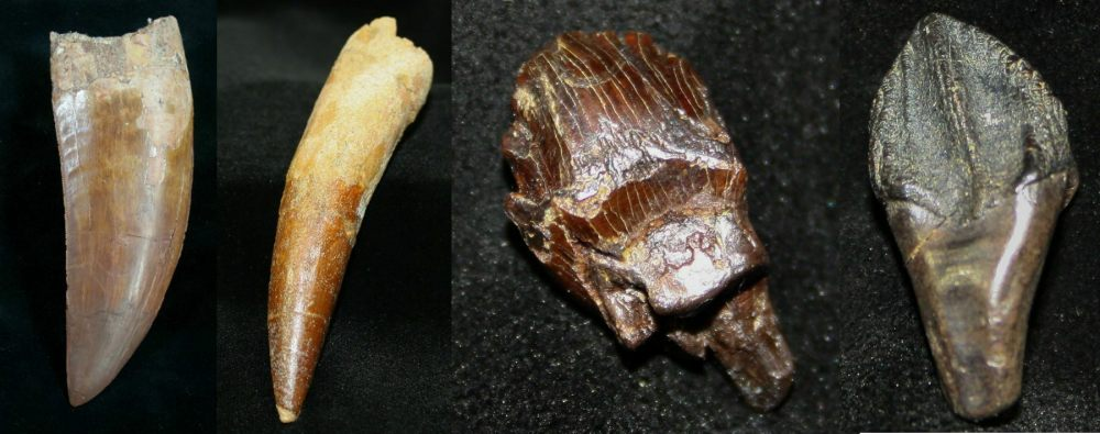 medium resolution of various dinosaur teeth