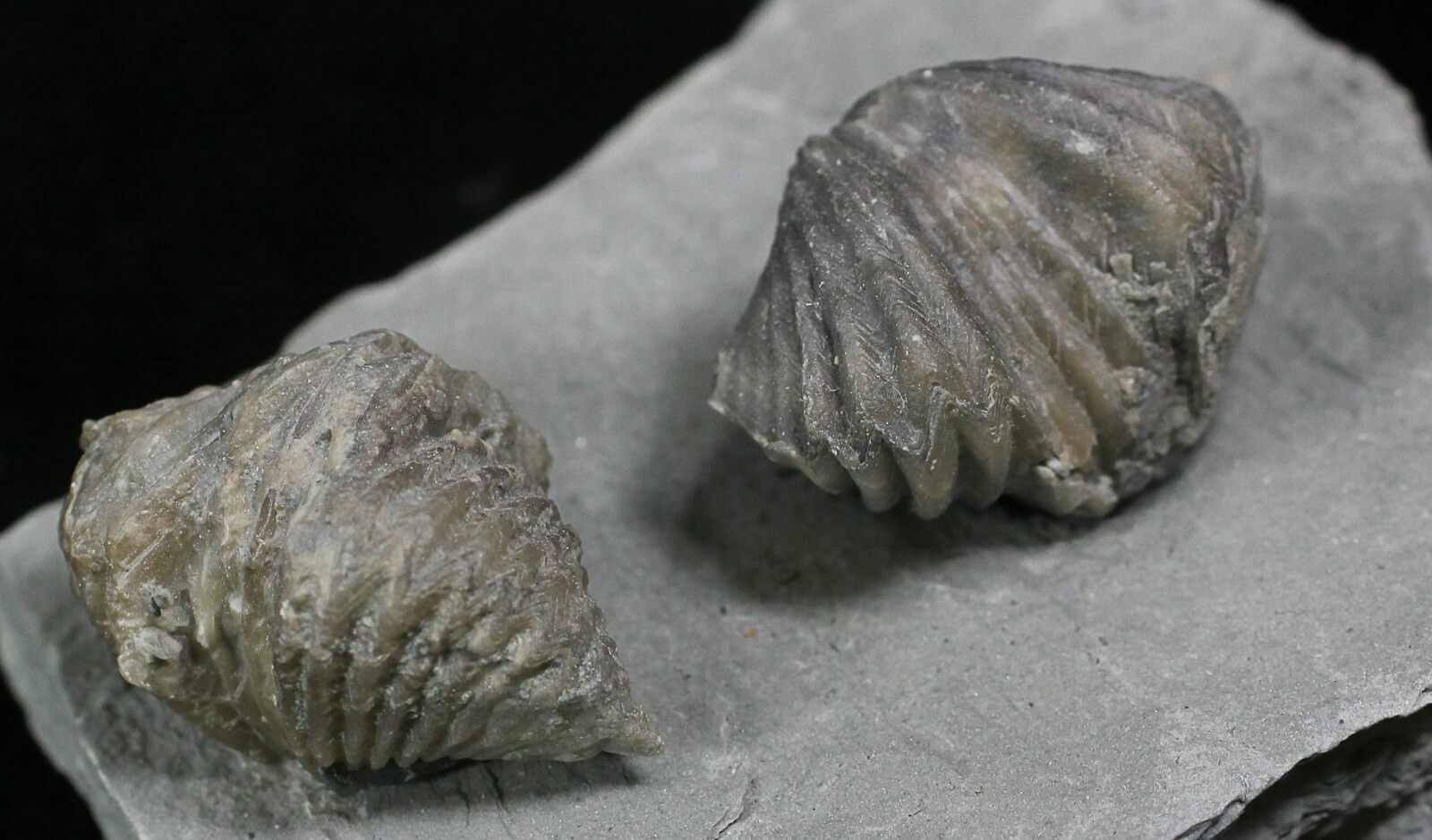 Pair Of Fossil Brachiopods Platystrophia  Indiana For