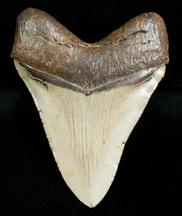 "4.84"" Megalodon Shark Tooth - Serrated #4563"