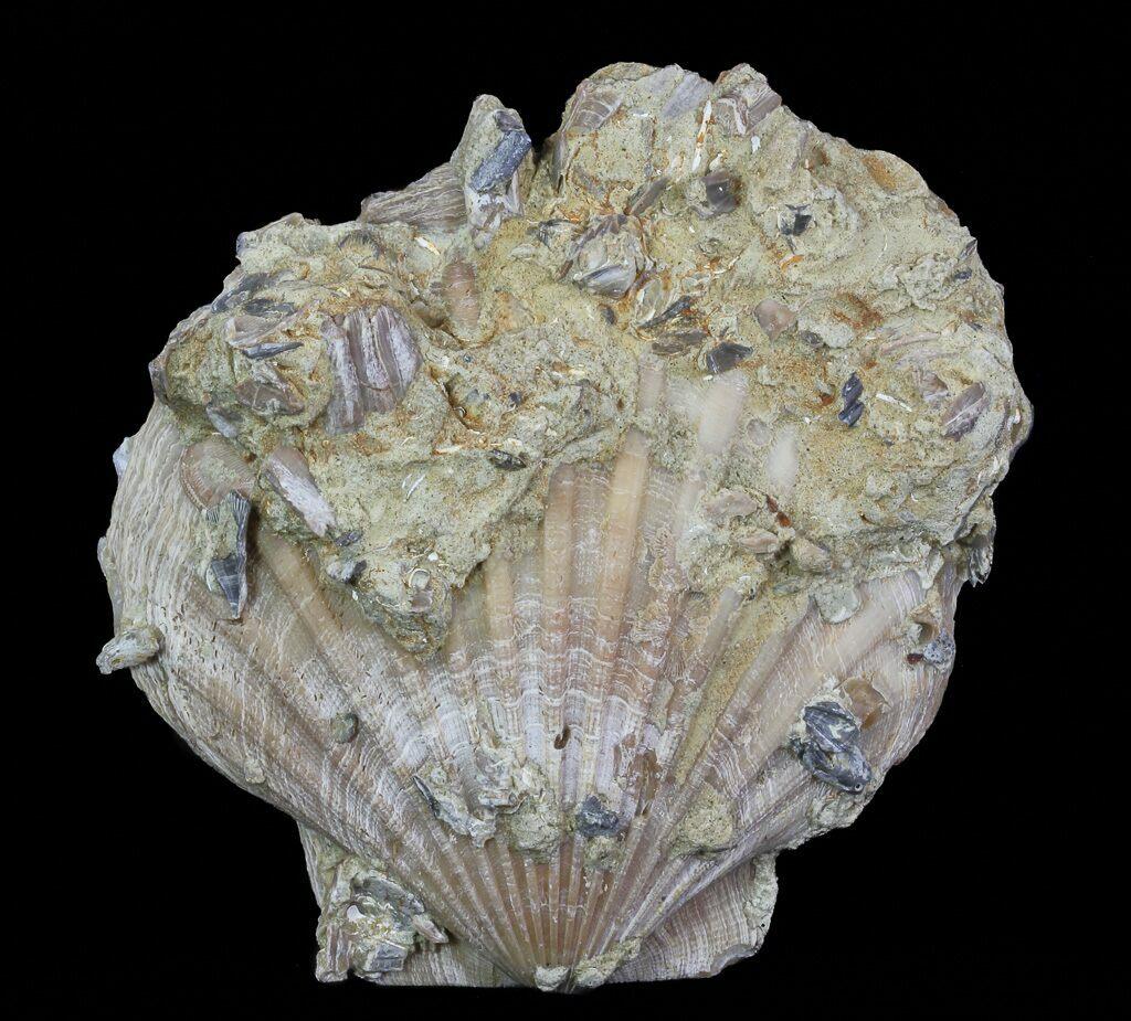 5 6 Fossil Pectin Chesapecten