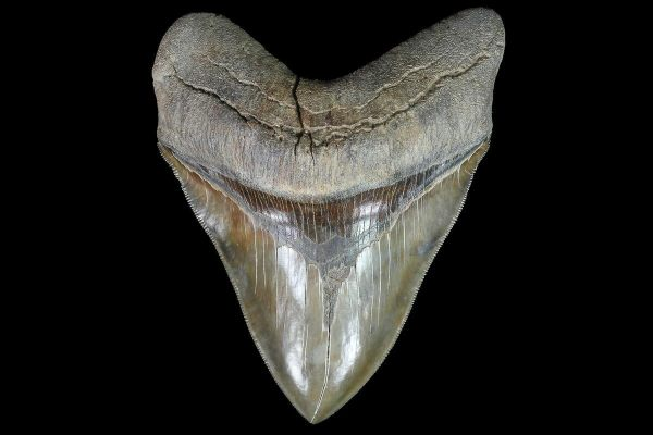 Mosasaur Teeth Color - Year of Clean Water