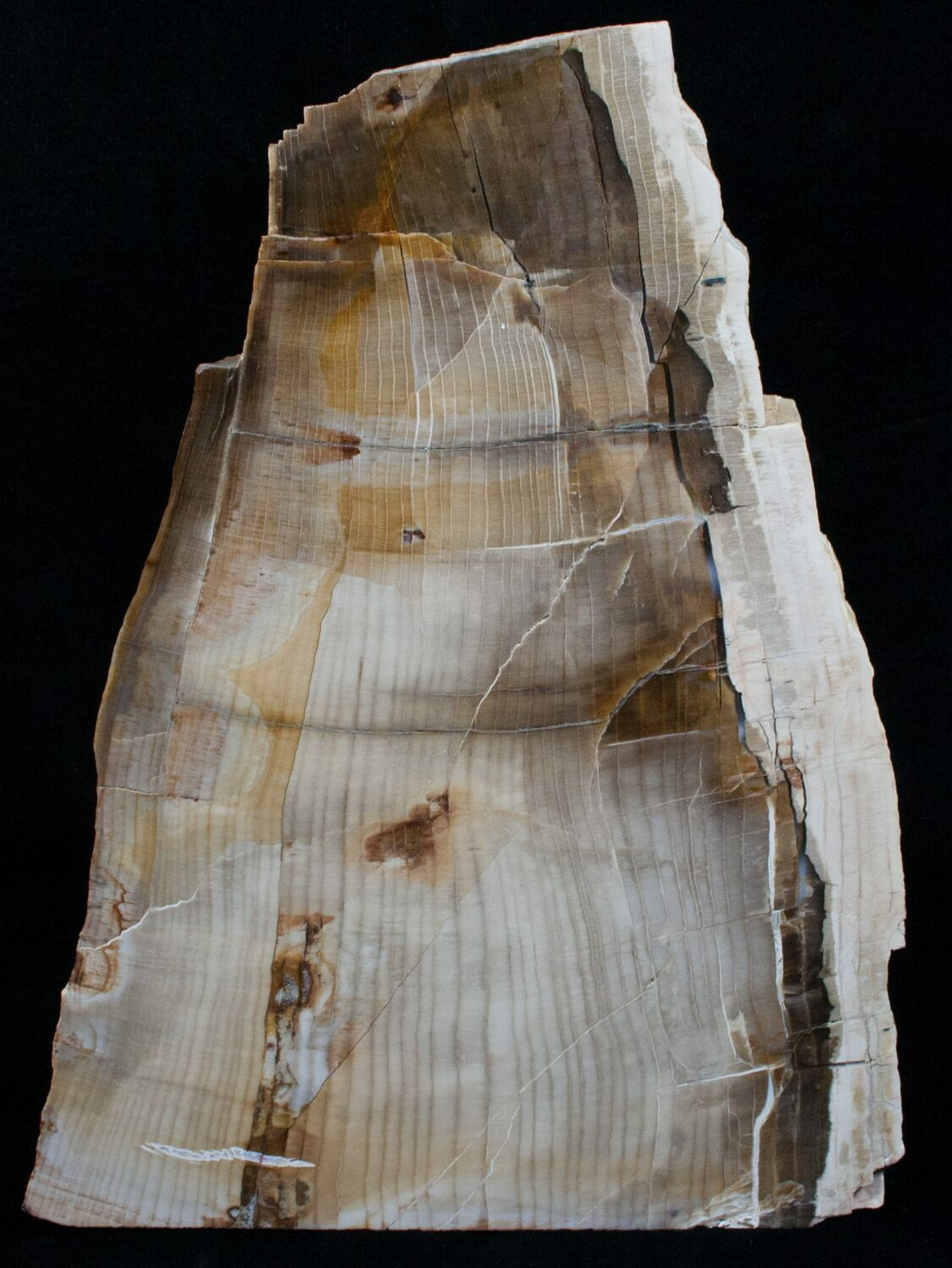 Large Free Standing Petrified Wood  Sequoia For Sale