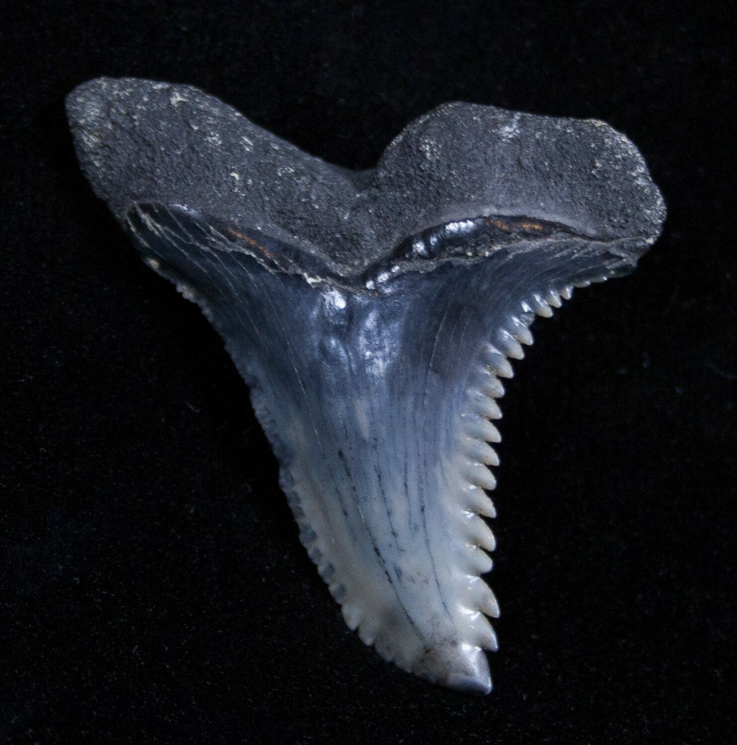 Large Colorful West Virginia Hemipristis Serra Tooth For