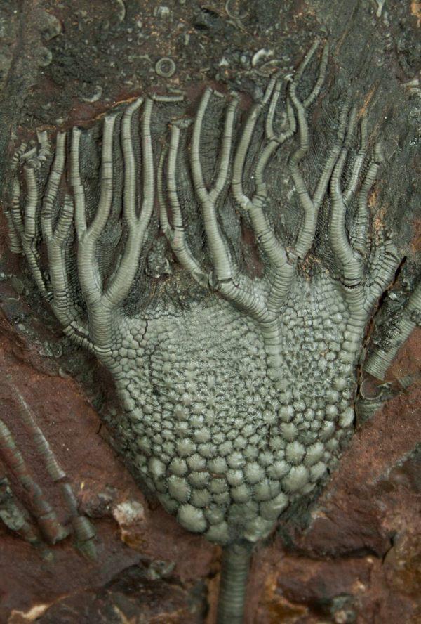 Moroccan Crinoid - Beautiful Display Piece