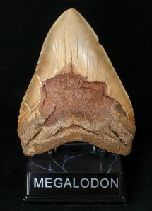 """Massive 5.96"""" Megalodon Tooth - Visible Serrations"""