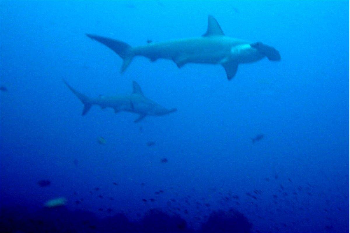 Fossilguy Hammerhead Sharks