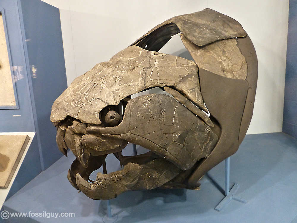 Dunkleosteus  Your Guide To The Giant Armored Placoderm Fossilguycom
