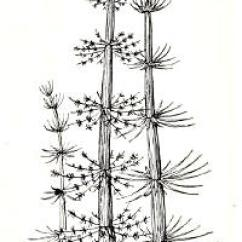 Horsetail Plant Diagram Wiring For Spotlights Fossilguy Com Carboniferous Fossil Fern Identification Calamites From Dunbar 1963