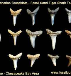 fossil sand tiger shark tooth calvert cliffs maryland [ 1000 x 821 Pixel ]