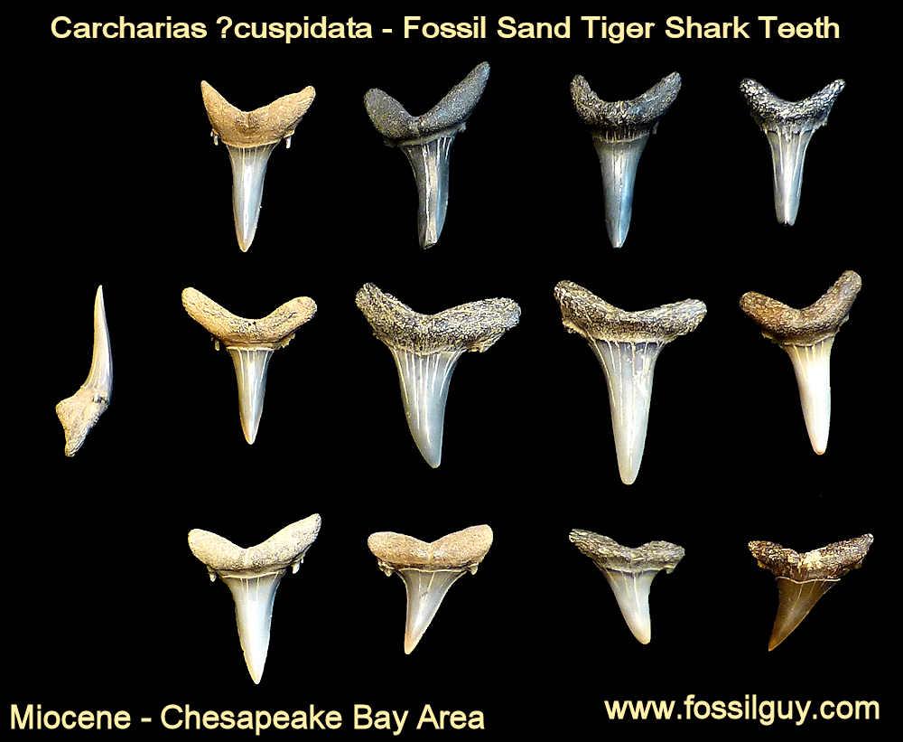 medium resolution of fossil sand tiger shark tooth calvert cliffs maryland