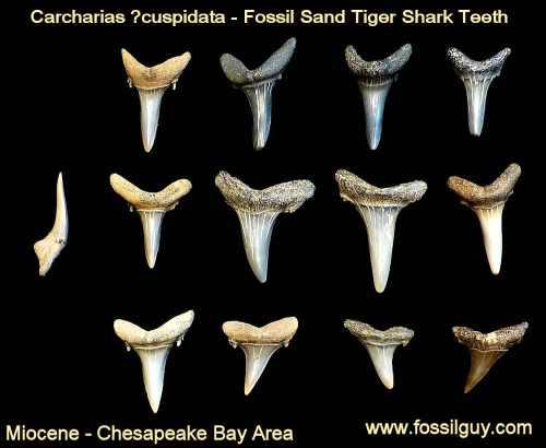small resolution of fossil sand tiger shark tooth calvert cliffs maryland