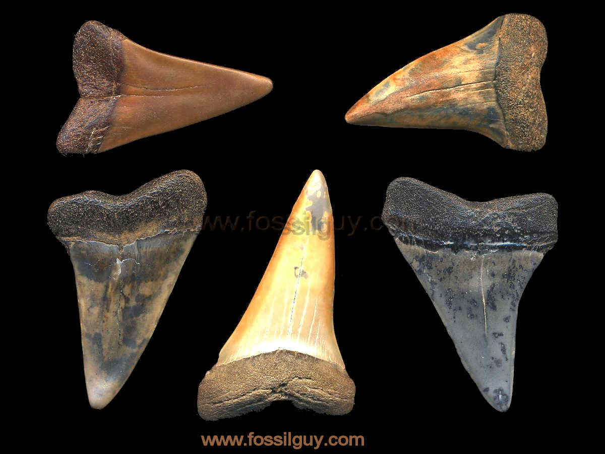 Fossilguy Why Are Fossil Shark Teeth Different Colors