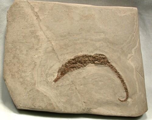 Rare Pliocene Italian Fossil Seahorse