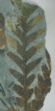 Thinnfeldia Jurassic Seed Fern Fossil