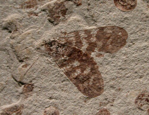 Cretaceous Scorpionfly Insect Fossil From Liaoning China