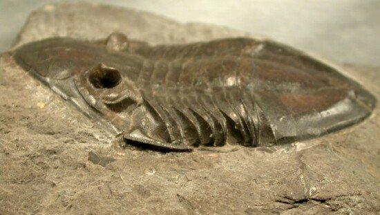 Isotelus Gigas Trilobite