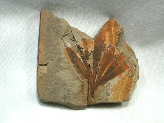 Plant fossil of Ginkgoites
