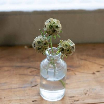 Scabiosa stellata dried flower