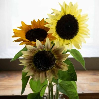 Sunflower blooms