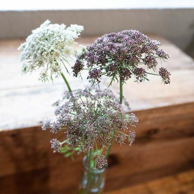 Daucus Dara flowers