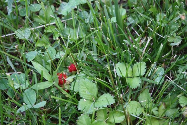Wild Strawberry Picking NJ
