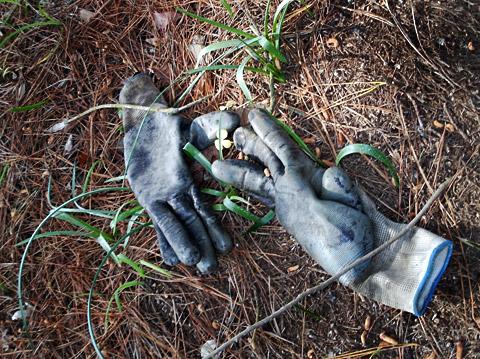 guernsey_gloves
