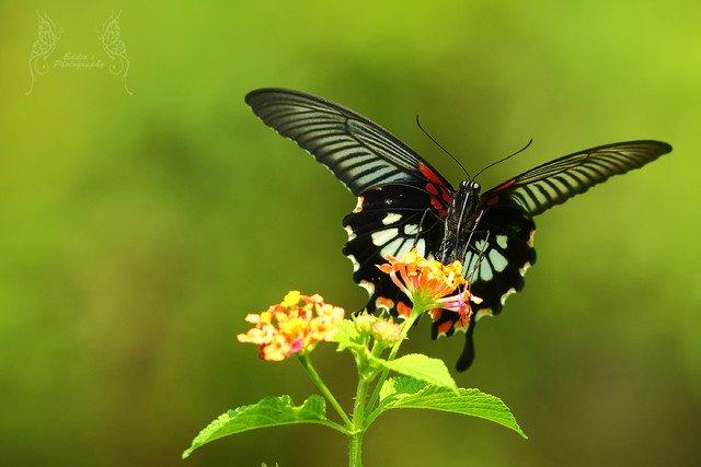美鳳蝶 Papilio memnon (Great Mormon) - Female (300mm, F/5.6, 1/500s, ISO 400)