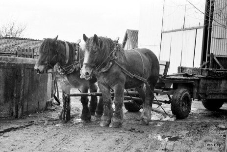 Twee Belsen paarden Bertus Verboom.
