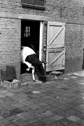Koe op straat gezet! Door wie en waar? Koeien naar buiten na een lange winter. Boerderij Den Hertog Boddens Hosangweg.