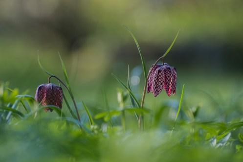 Frühling - Schachbrettblume Moni Merk