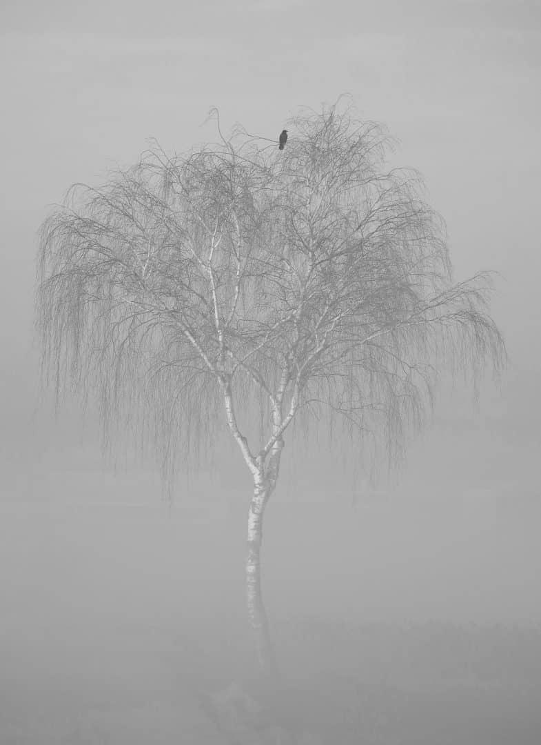 Krähe im Nebel - von Günther Holzinger