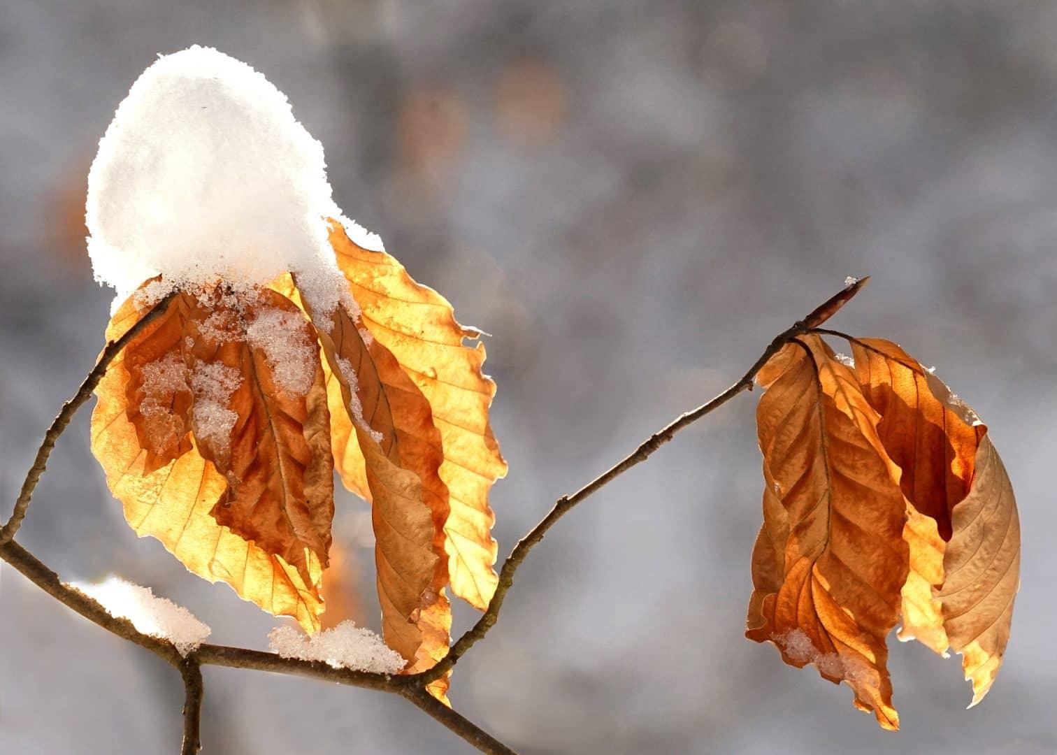 Herbstgold im Winter - von Werner Eischer