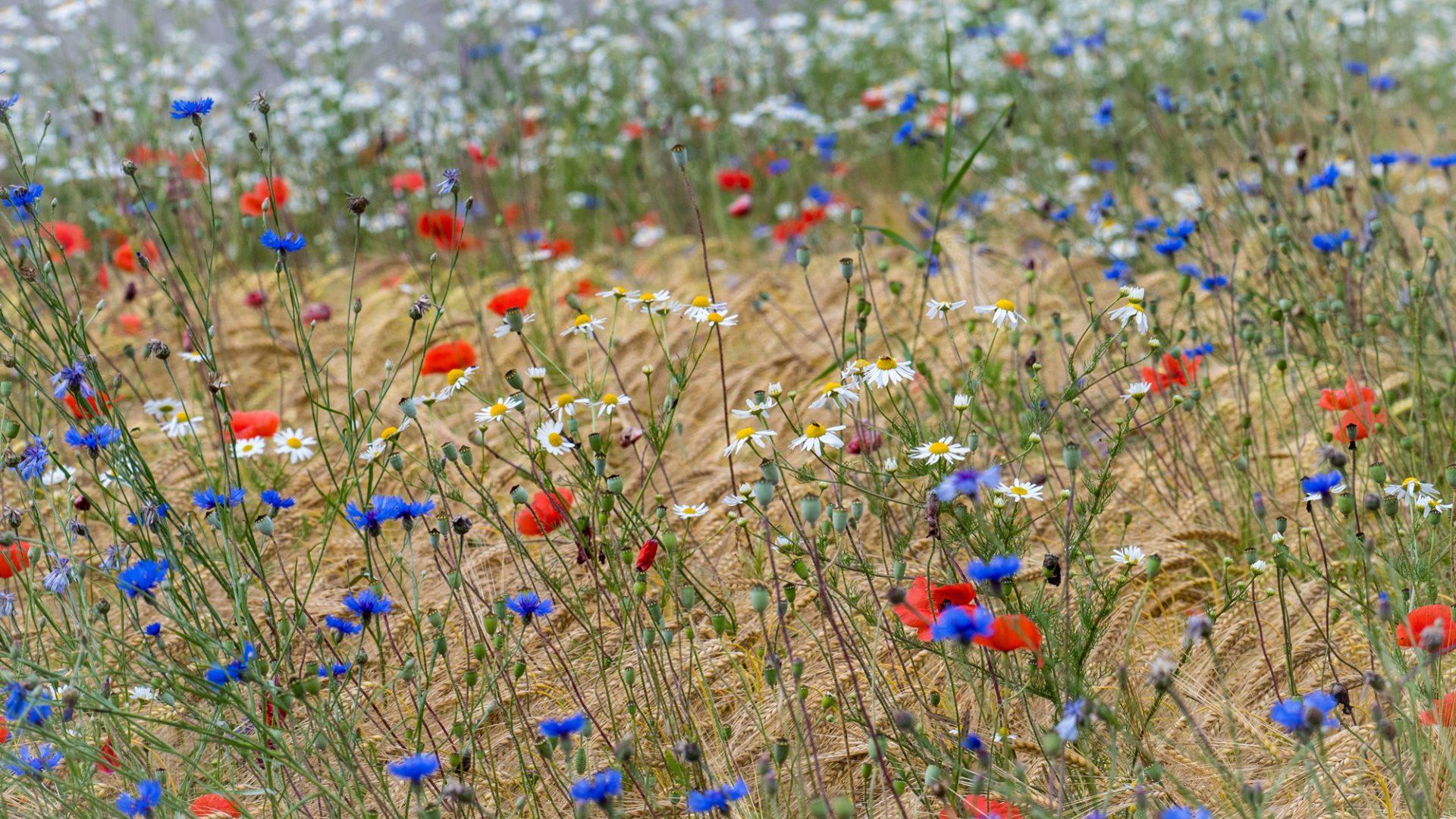 Ackerblumen - von Friedrich Weigel