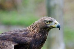 Hochwildschutzpark Rheinböllen - Greifvogel @Volker Berg