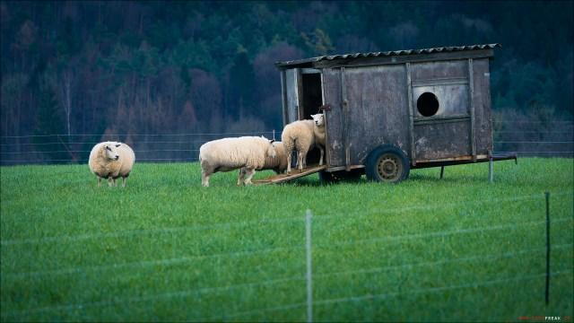 Lufingen Schafe