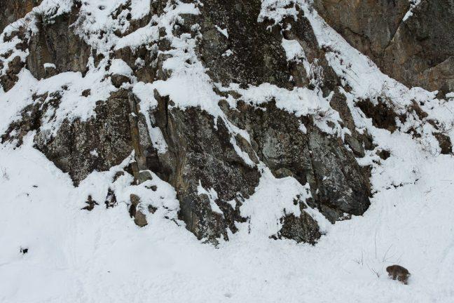 sneeuwmakaak in het landschap