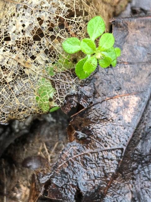 Contrast tussen vergaan blad en jong plantje