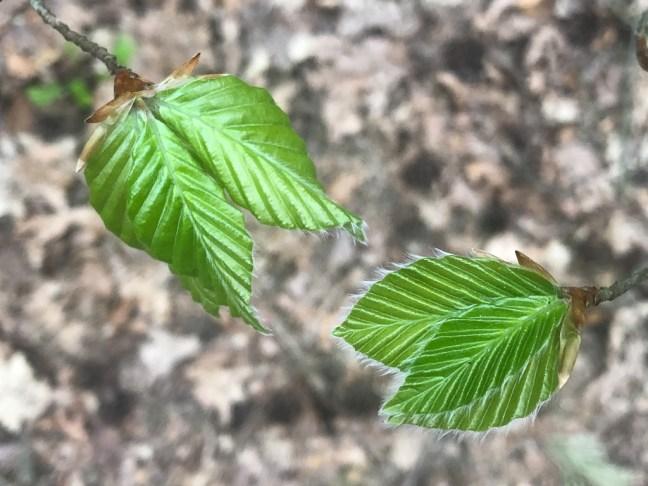 ontspannen in het bos door jong beukenblad te fotograferen