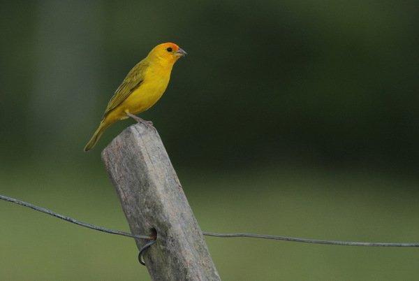 aves - canarinho - bahia