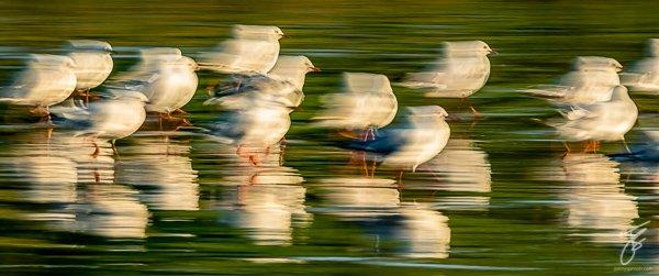 Dancing-Gulls