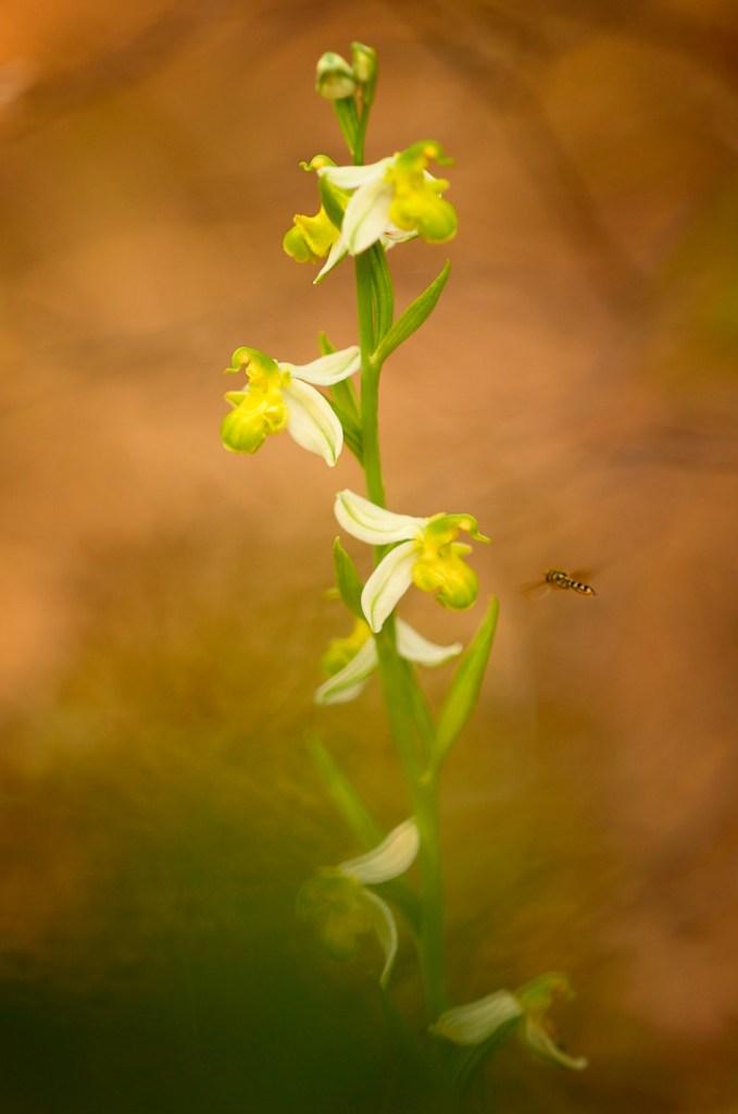 antoni-cladera-orquidea