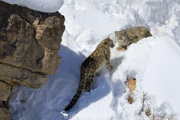 leopardo-nieves-alamany