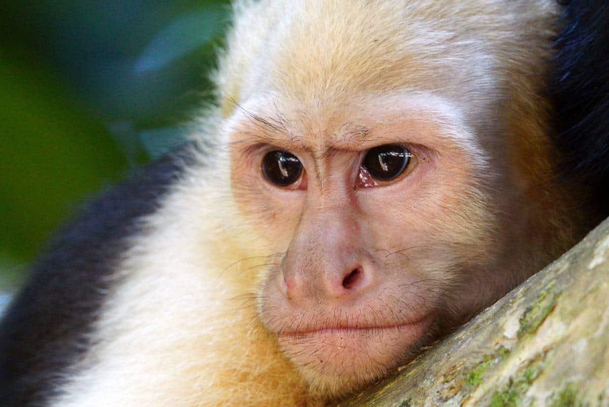 Close-up van een jonge capucijneraap.