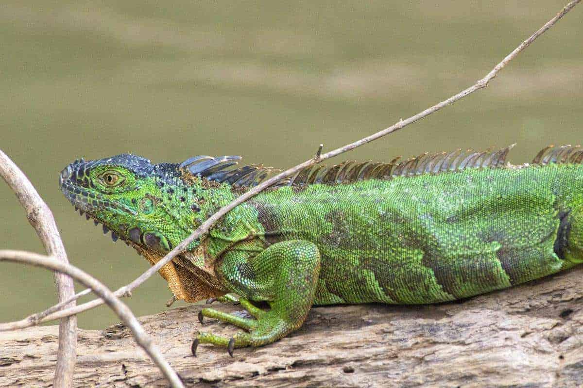 Leguaan gefotografeerd tijdens de Fotoreis Costa Rica.