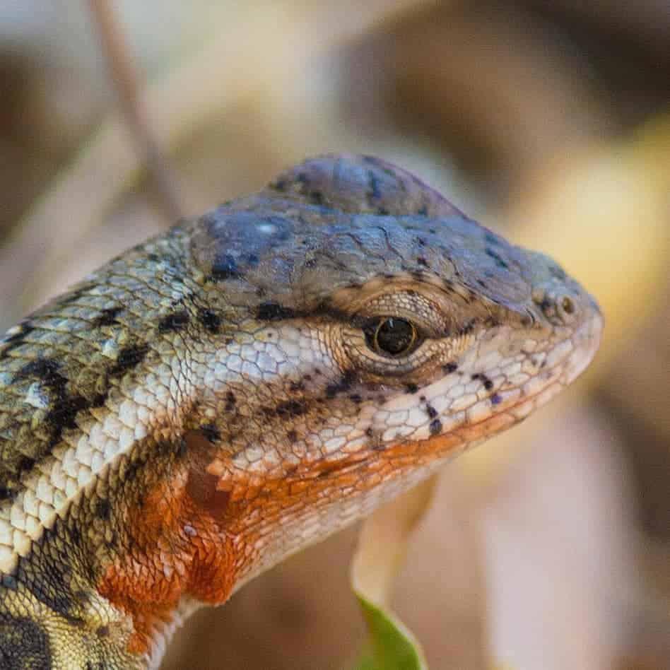 Close-up van de kop van een salamander.