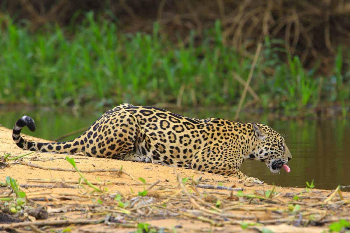 De jaguar in de Pantanal tijdens de fotoreis Brazilië