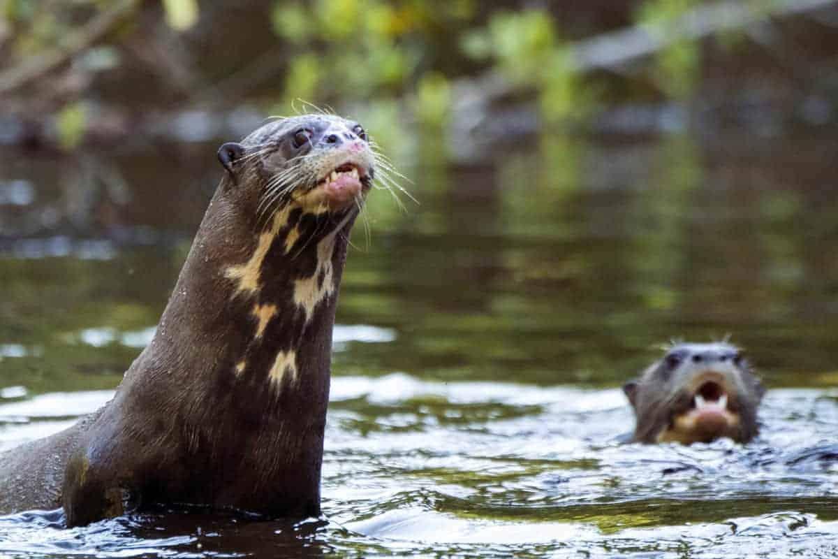 Otters in het water in Pantanal Brazilië