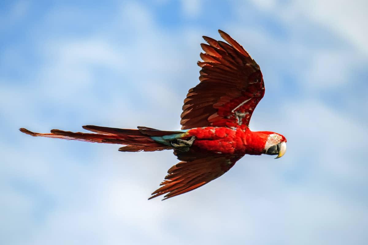 Rode papegaai vliegend in de lucht