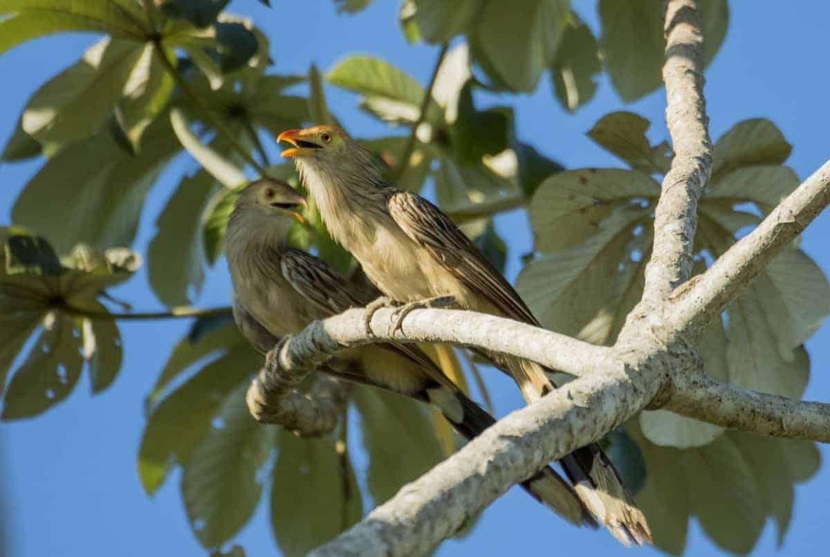 Vogel in Pantanal