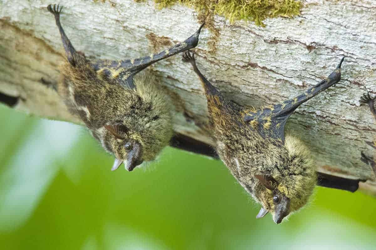 Twee vleermuizen hangend aan een tak in Costa Rica